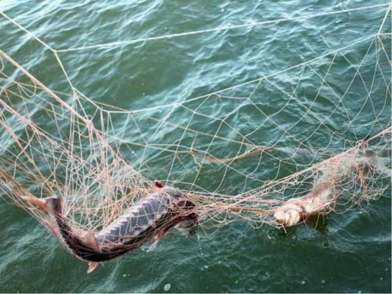 Рыбаки колят рыбу на нересте